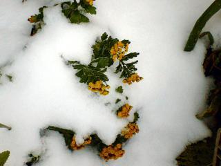 061205雪とイソギク