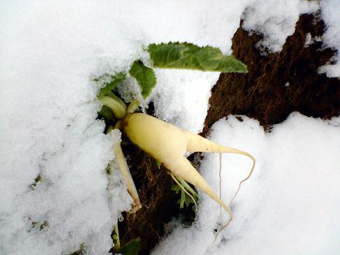 061205雪と大根
