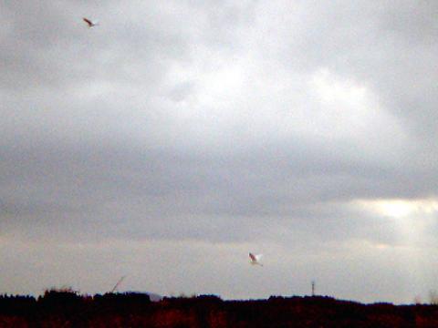 061208 チュウダイサギ飛翔