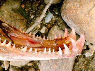 061211 鮭の下顎
