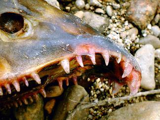 061211 鮭の上顎