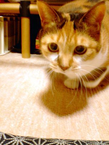 061212 本猫は真剣
