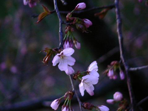 070423 桜2
