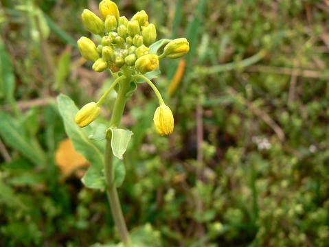 070422 アブラナ科の花