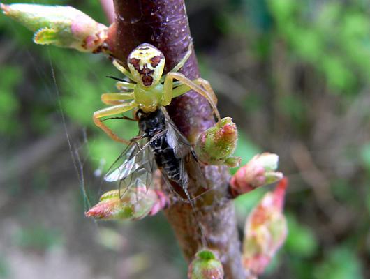 070504 ハナグモとハチ