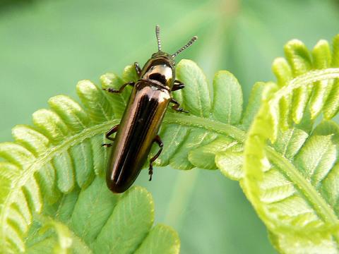 070521 ブロンズの甲虫1