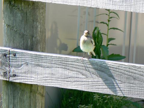 070602 ハクセキレイ幼鳥1