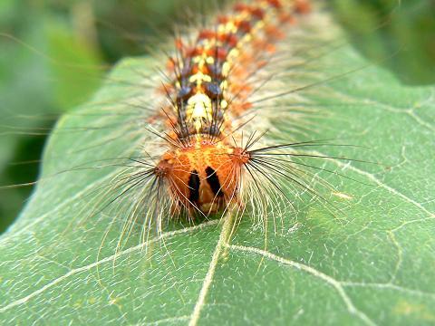 070616 マイマイガ幼虫