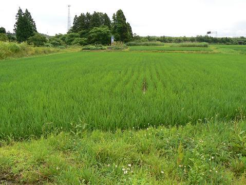 070630 土手を挟んだ反対側の田んぼ