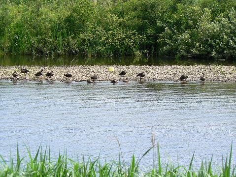 070630 カルガモの群れin岩見川