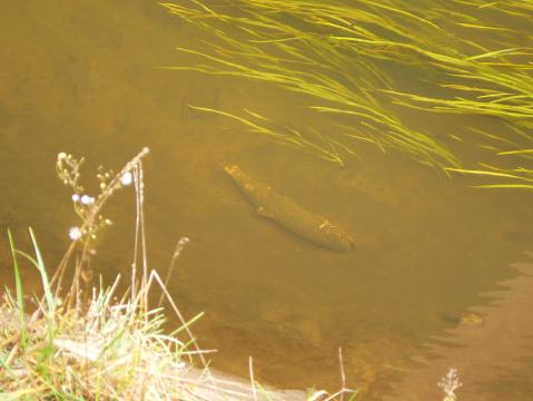 071028 ぐみの橋の下のサケの死骸