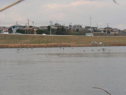 071208 雄物川河口のカモ1