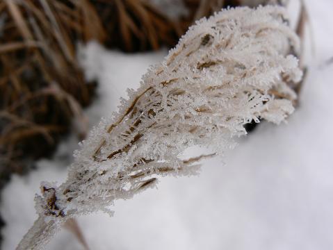 071223 ススキの霜