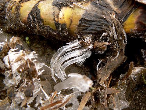 071223 ガマの根の霜柱