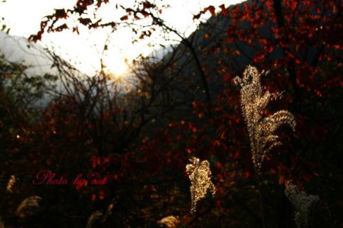 紅葉の中で輝くススキ