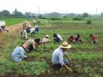 わた畑の草とり -栃木県-
