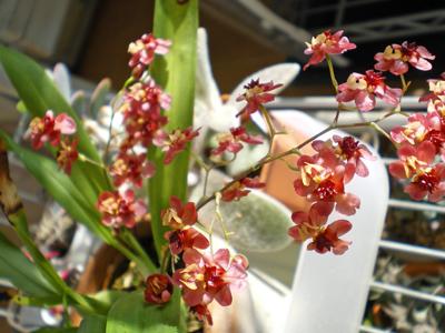 オンシ・トゥインクル赤花