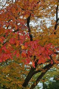 たぬき小路横のさくら紅葉