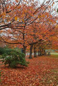 府大大仙キャンパス進入路の桜並木