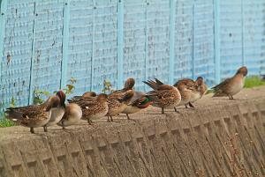境界ブロック上段で休むコガモ