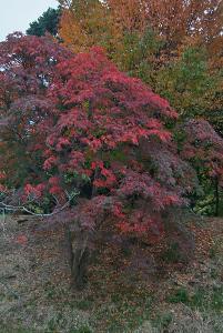 西側外堀・中濠の間の堤上の櫨の木