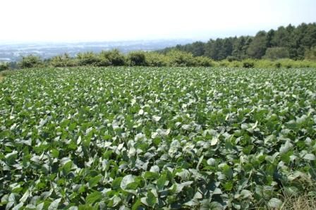 大豆畑の写真画像