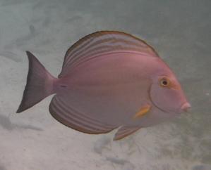 魚拡大サイパン