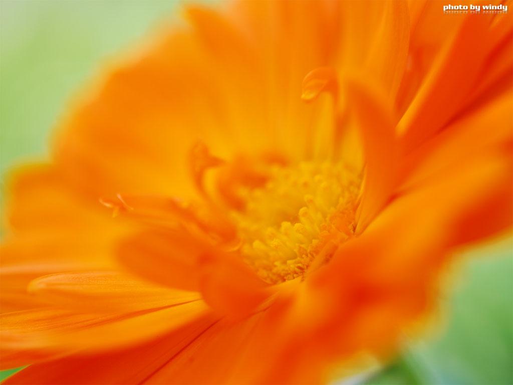 さんぽふぉと Sanpophoto 無料壁紙 オレンジのガーベラ