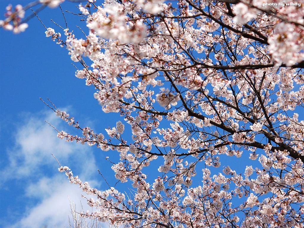 さんぽふぉと Sanpophoto 無料壁紙 春の青空と桜